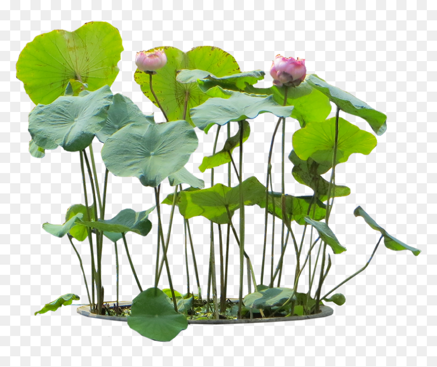Flower,aquatic Asiatica,flowering Plant,aquarium Decor,botany,plant - Flower Plant Png, Transparent Png