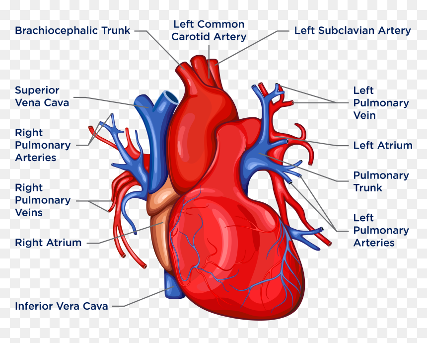 Anatomy Of The Heart And Lungs - Heart Diagram Lada, HD ...