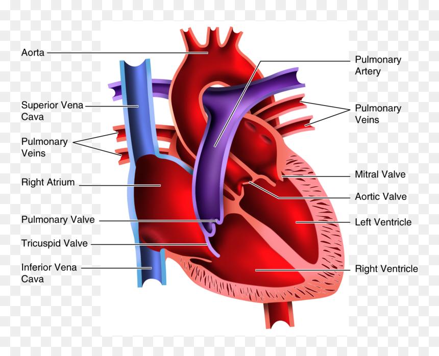Answer Key Heart Diagram Worksheet, HD Png Download ...