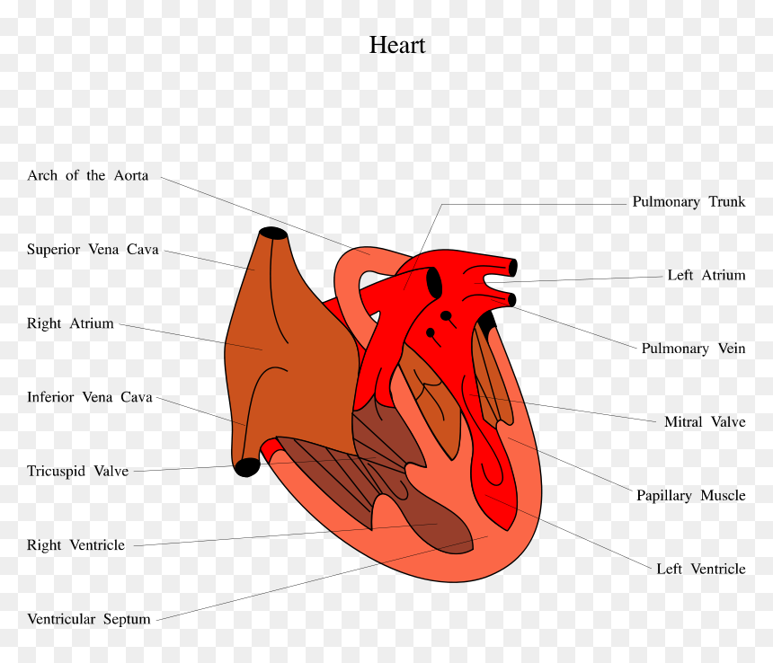 Unlabeled Heart Diagram, HD Png Download - 800x658 PNG ...