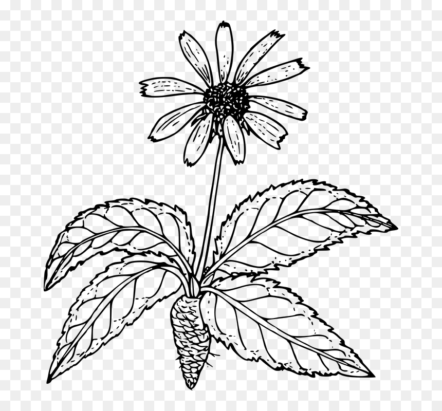 Outline Pictures Of Flower Plant Root , Png Download - Flower Plant With Root Drawing, Transparent Png