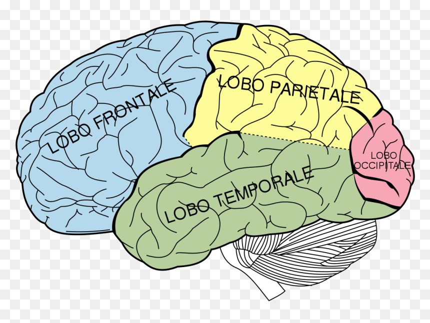 Brain Diagram It - Lobes Of The Brain Unlabeled, HD Png ...