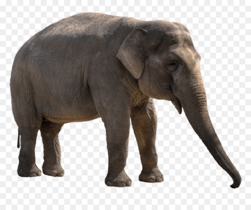 Free Png Elephant Png Images Transparent Transparent Background Elephant Png Png Download 843x638 Png Dlf Pt Animals hd pic with white background. dlf pt