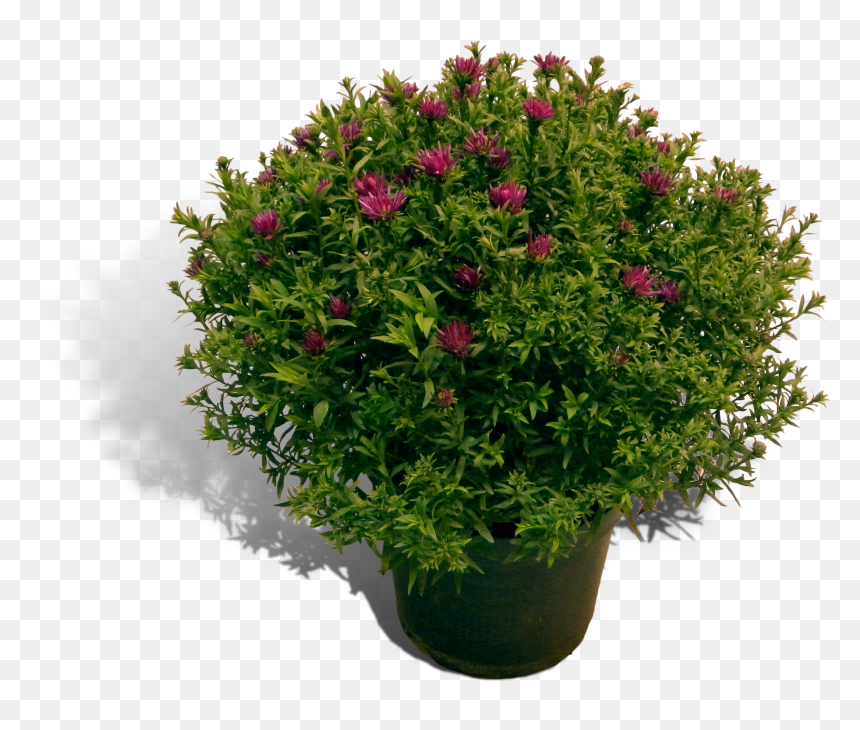 Aster 17cm Pot Productfoto Shadow - Perennial Plant, HD Png Download