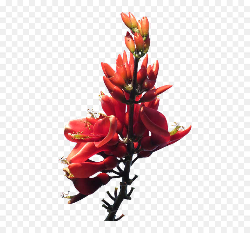 Red Flowers Png Pic - Flower Plant Png Transparent Background, Png Download