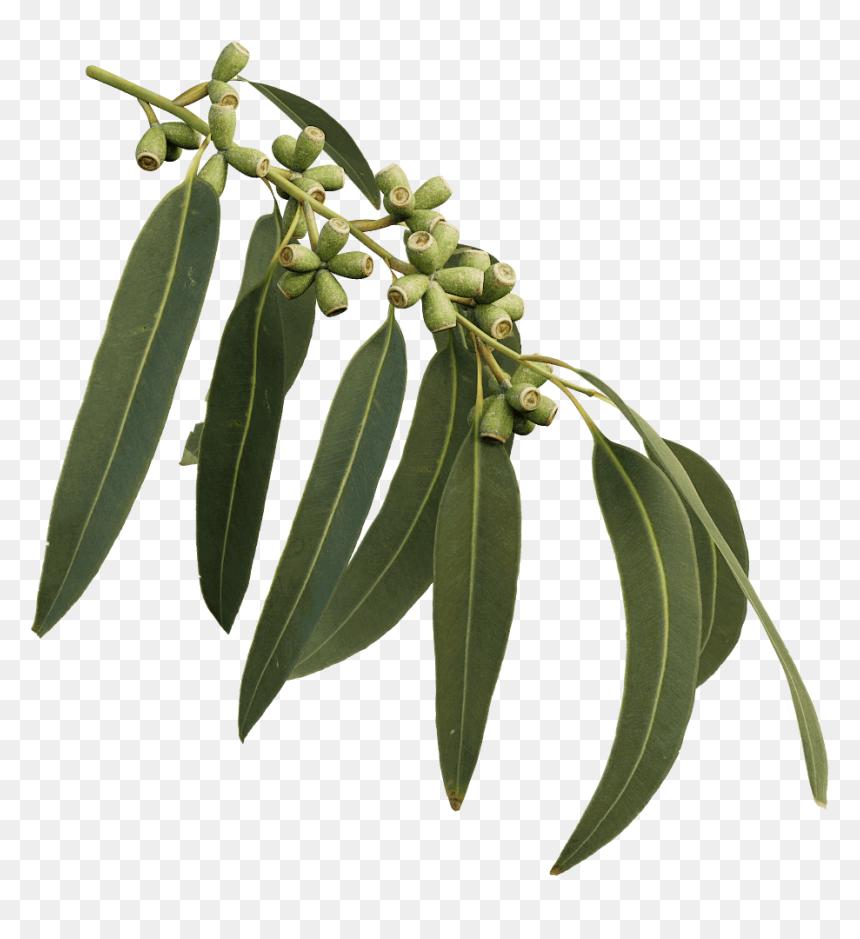 Transparent Eucalyptus Tree Clipart - Gum Tree Branch Png ... (860 x 939 Pixel)