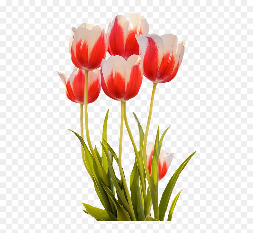 Tulip Merah Musim Semi Bunga - Spring Flowers Clipart Transparent, HD Png Download