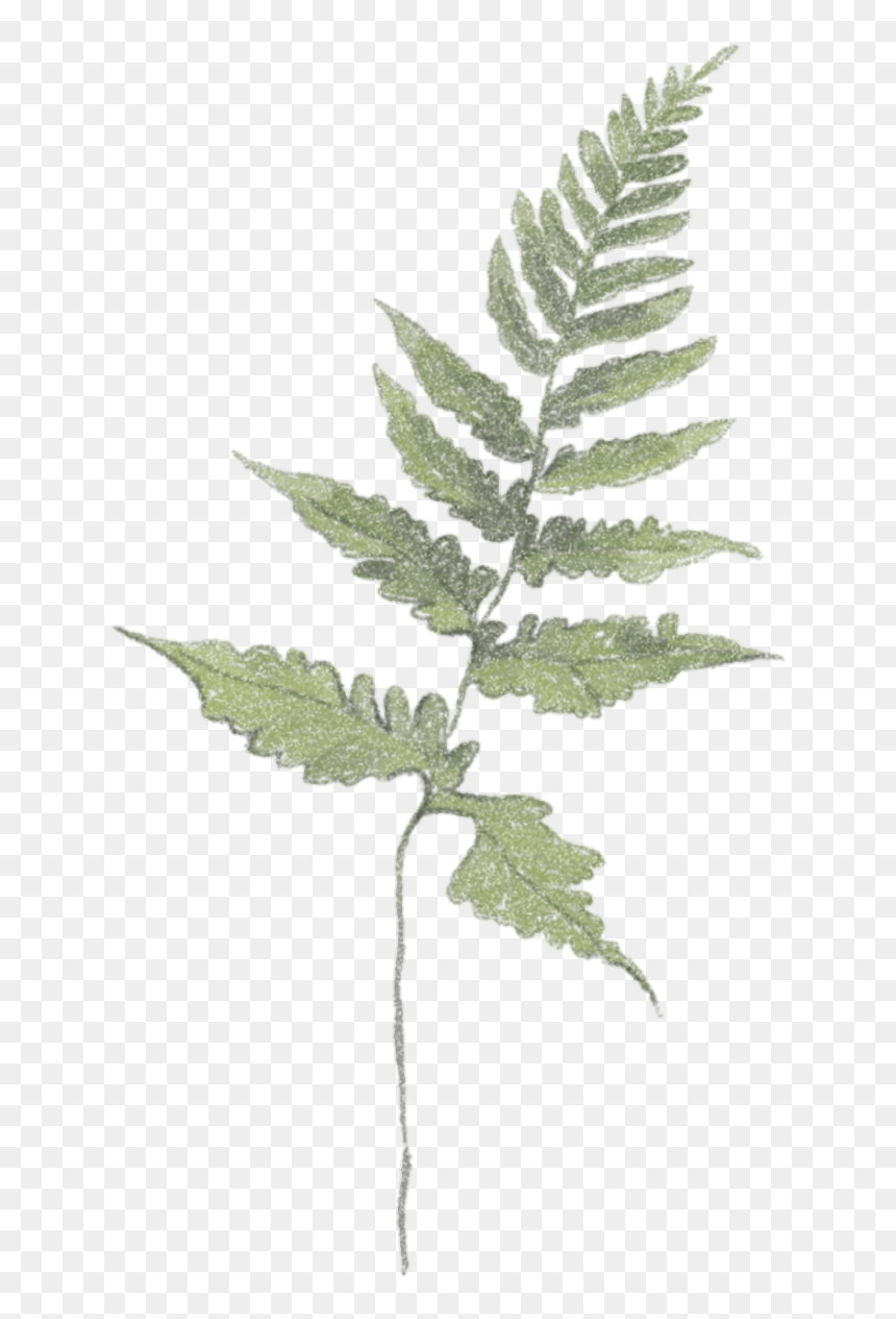 Plants Aesthetic Aesthetictumblr Vintage Tumblr Ostrich Fern Hd Png Download 823x1322 Png Dlf Pt