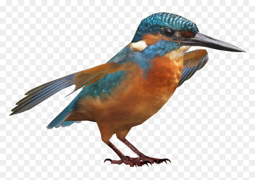 Coraciiformes, HD Png Download
