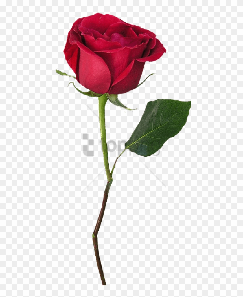 Red Rose Png Transparent Png Png Collections At Dlf Pt